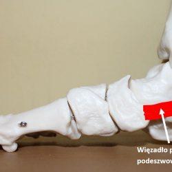 Więzadło spring ligament